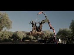 El olivo picture