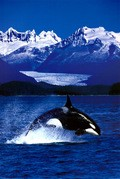 BBC: Wildlife Special - Killer Whale - wallpapers.