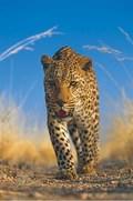 Primore. Zemlya leoparda. pictures.